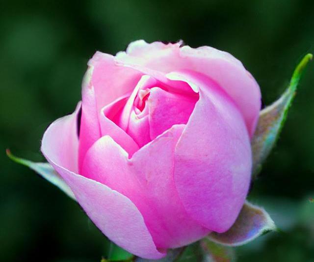 """""""Morgan's Rose"""""""