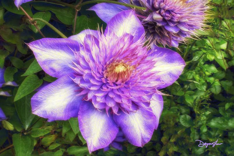 """Purple Clematis"""